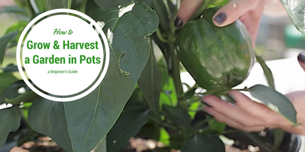 How to Grow and Harvest a Garden in Pots: A Beginner's Guide