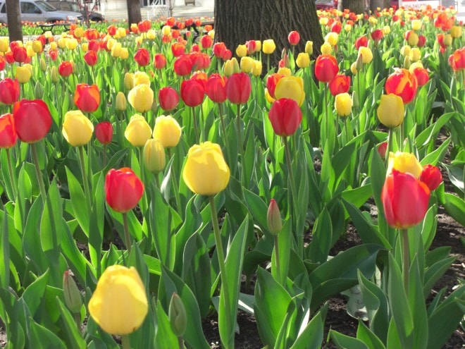 Tulips in the Midwest