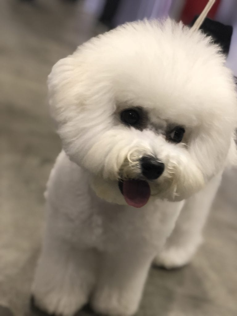 An Insider's Guide to the American Kennel Club Dog Show - Bichon Frise