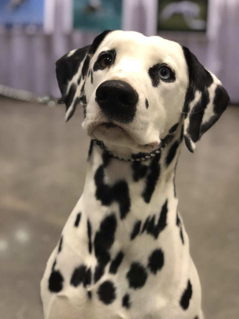 An Insider's Guide to the American Kennel Club Dog Show - Dalmatian Belle
