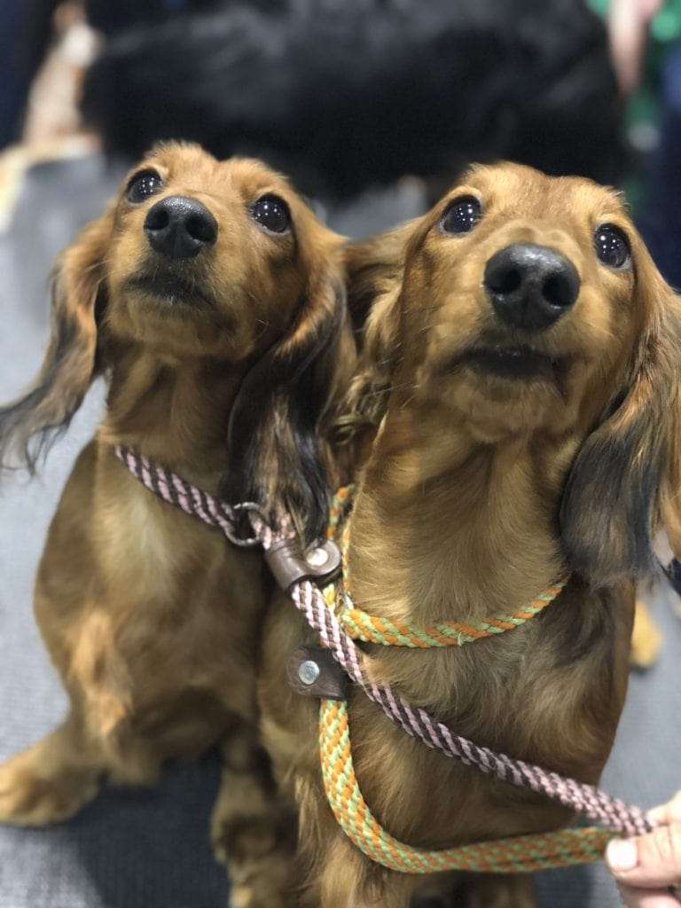 An Insider's Guide to the American Kennel Club Dog Show: Dachshund