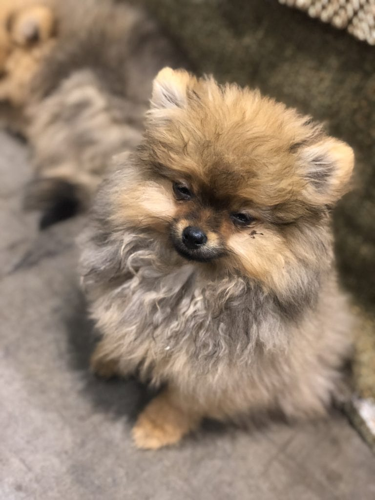 An Insider's Guide to the American Kennel Club Dog Show: Pomeranian - Big Girl