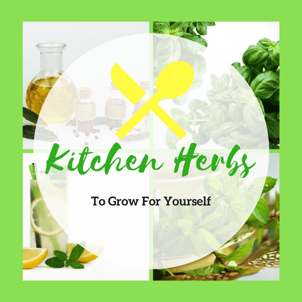Kitchen Herbs You Can Grow Yourself - Including two of my favorites - Basil and Mint!